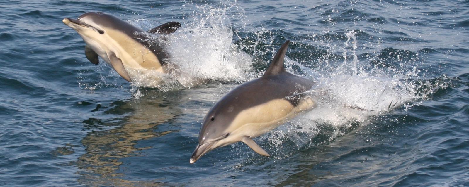 La Rochelle Université participe au projet CetAMBICion, projet de lutte contre l'échouage des dauphins