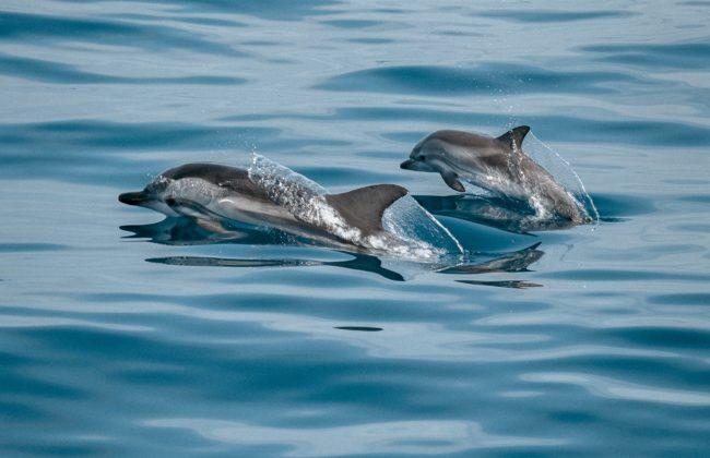 Lancement du projet CetAMBICion pour lutter contre l'échouage des dauphins